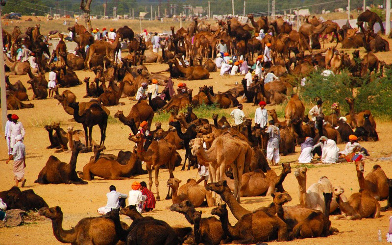 Rajasthan Pushkar Camel Fair