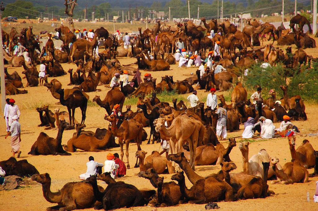 Rajasthan Pushkar Camel Fair