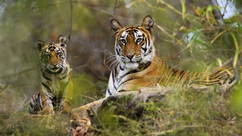 Indian Wildlife Safari Tour