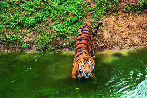 What is the best place to see tigers in India?